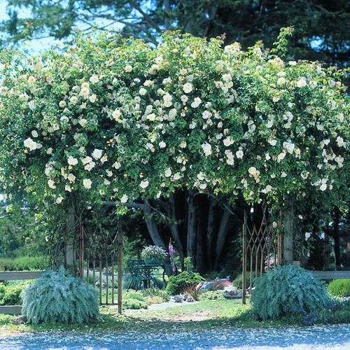 Climbing Roses: Growing Tips