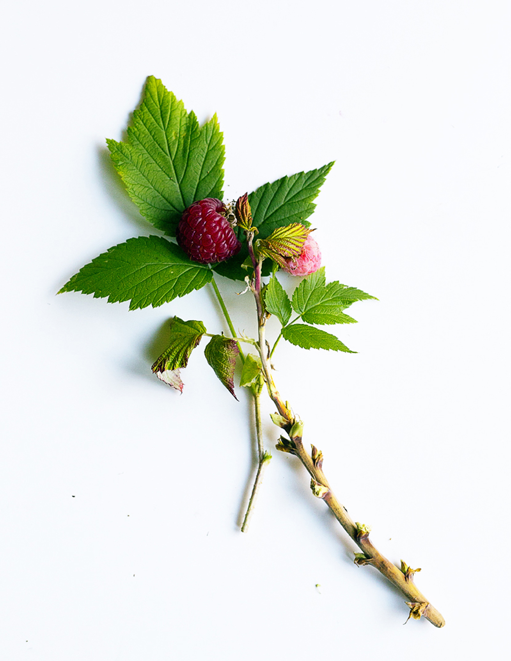 'Indian Summer' Raspberry