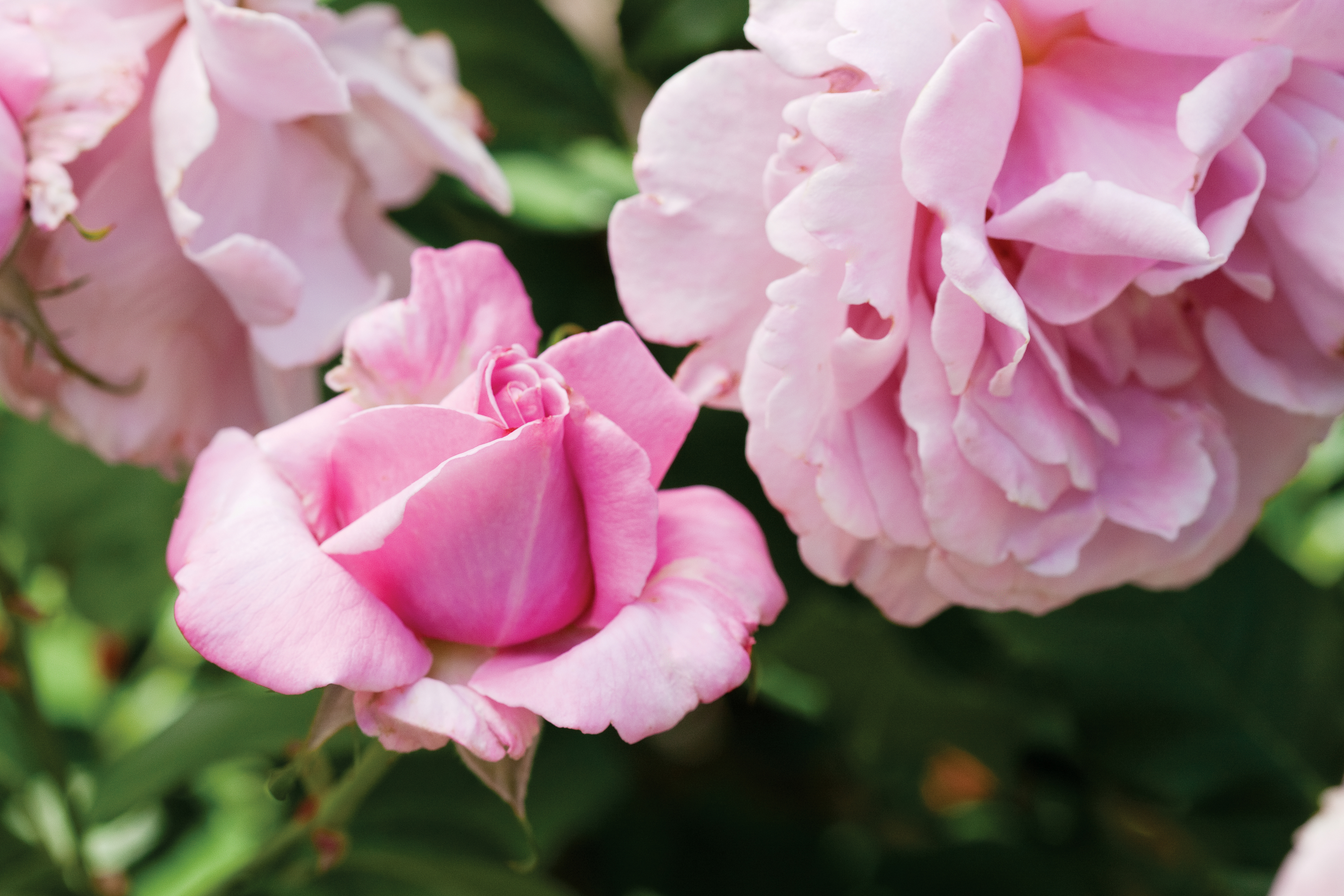 How to plant & care for roses
