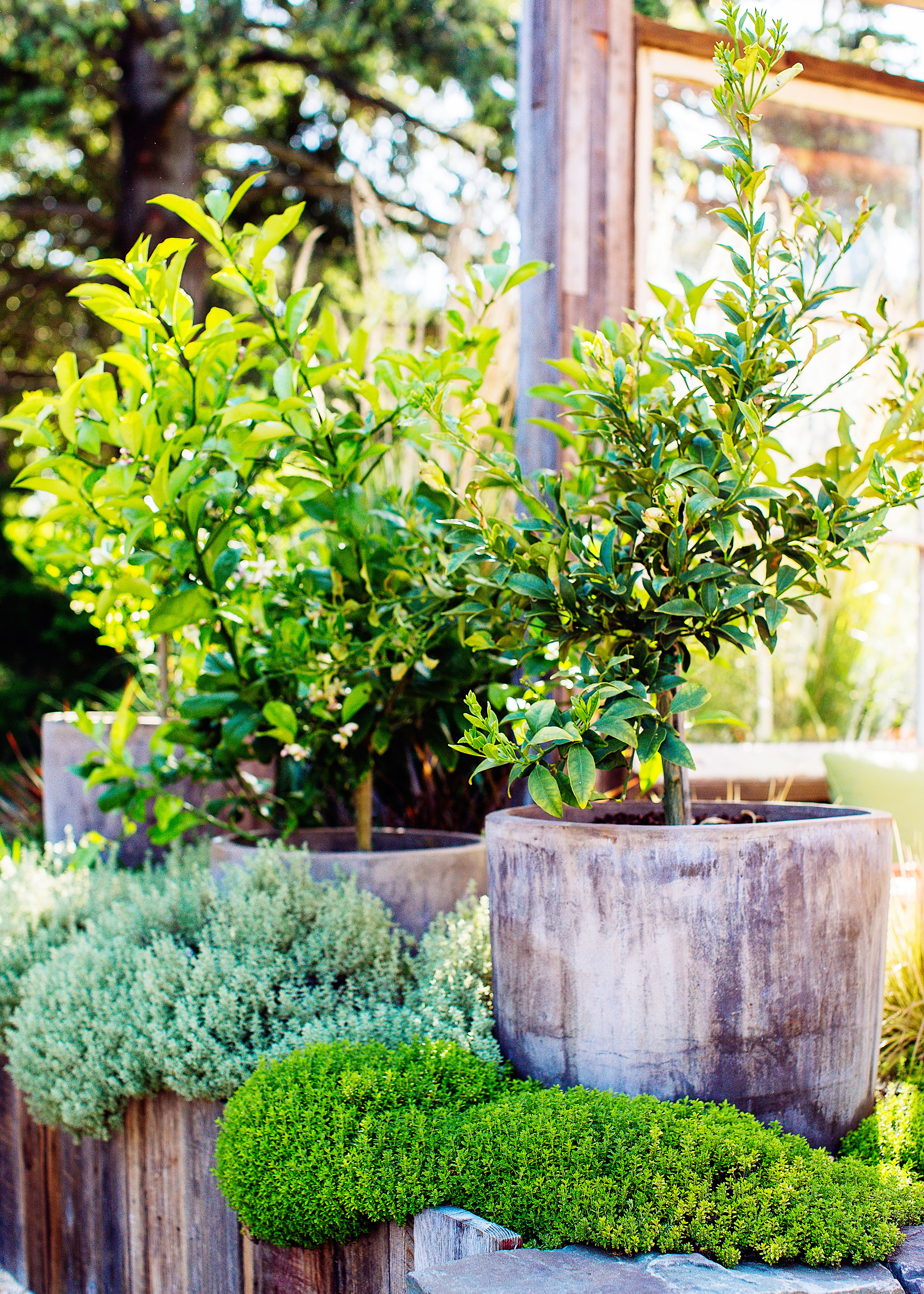 How to Repot a Citrus Tree
