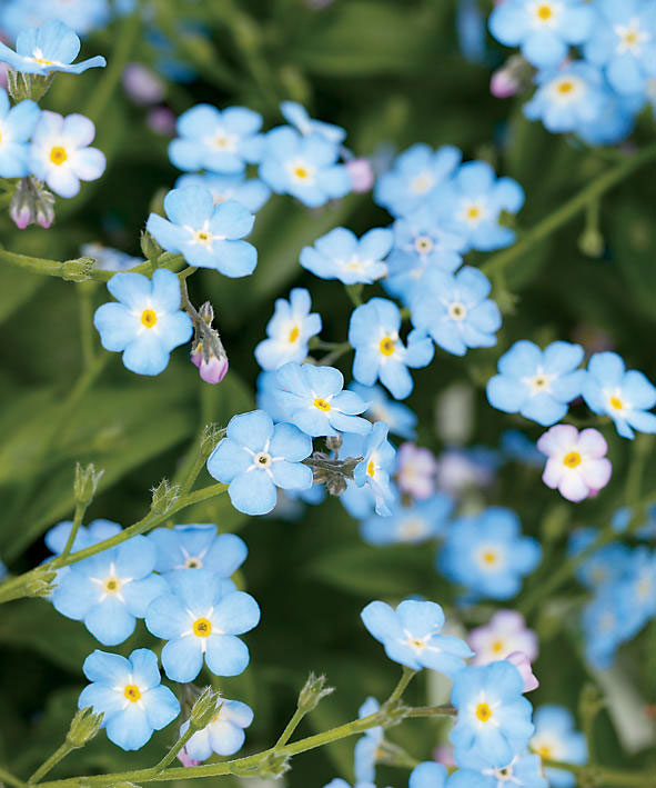 'Baby Blue' forget-me-not