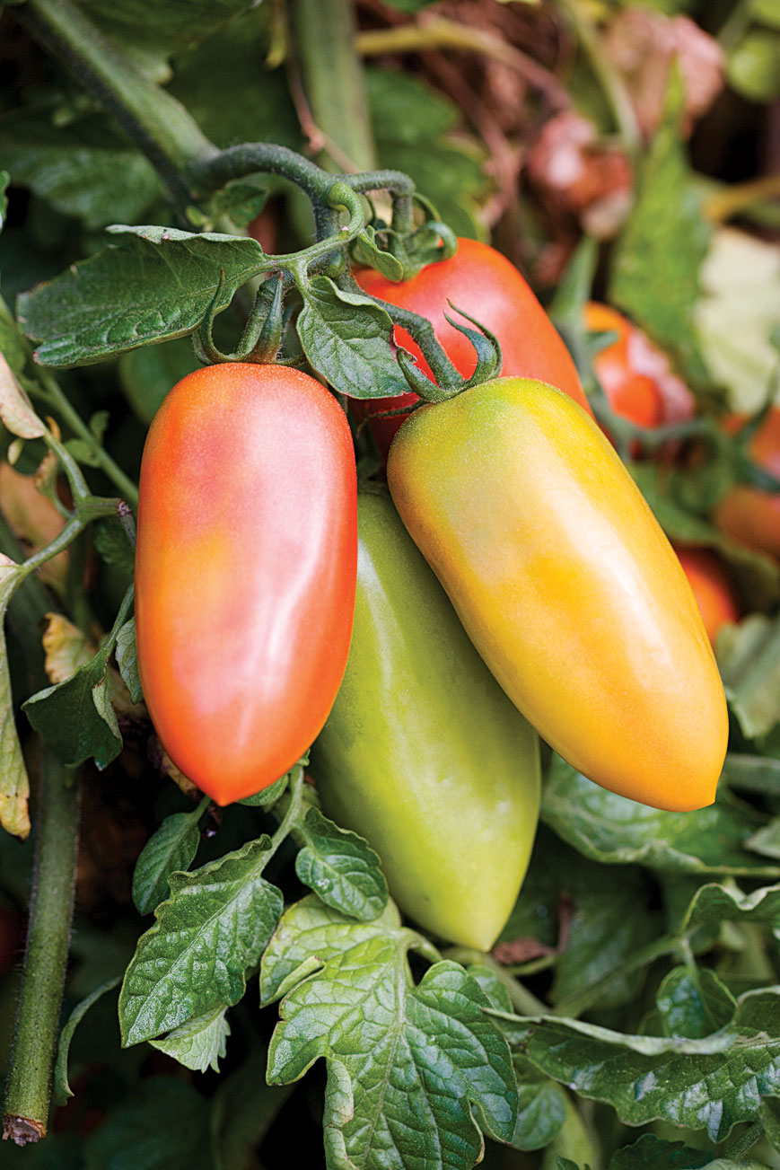 Our Favorite Paste Tomatoes