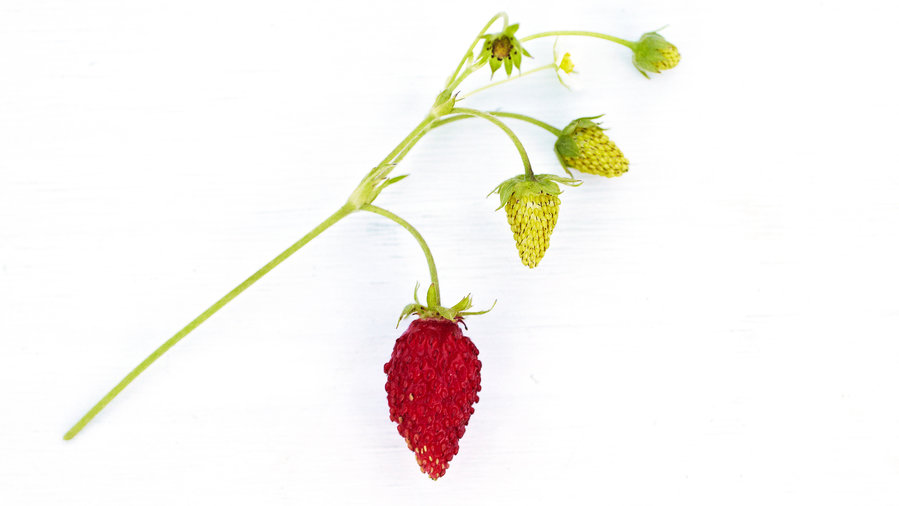 'Golden Alexandria' Alpine Strawberry