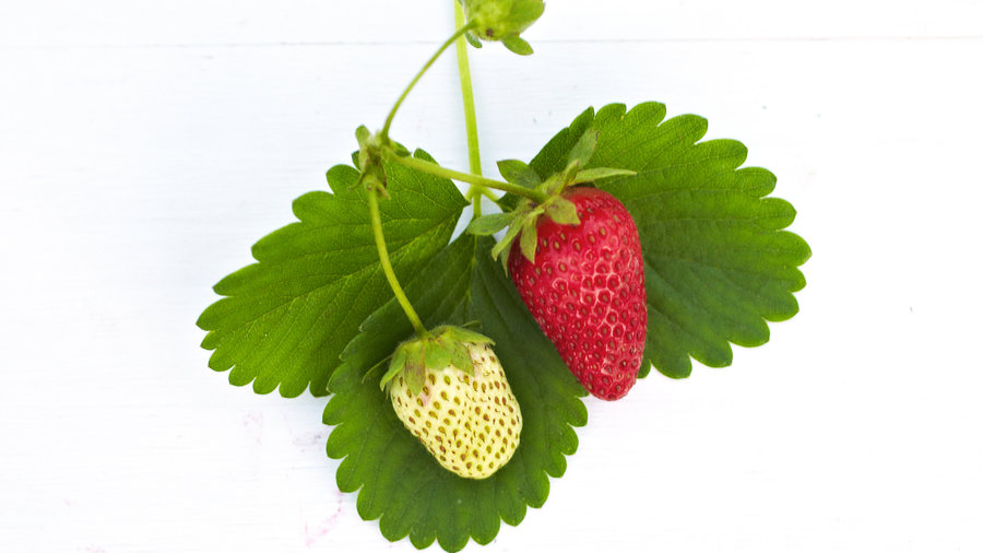 'Seascape' Strawberry