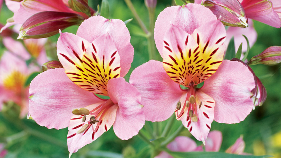 15 Favorite Perennial Flowers
