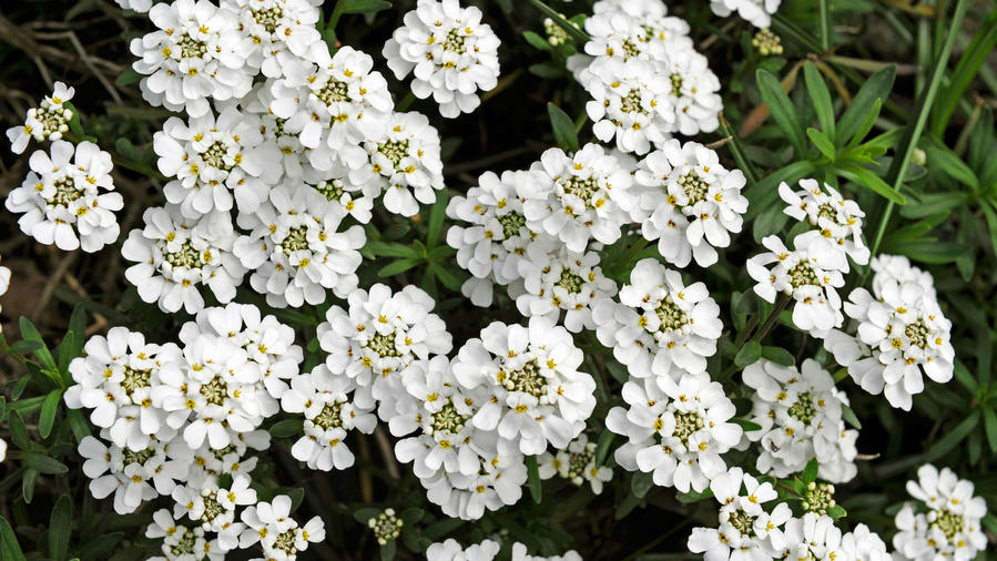 Candytuft (<i>Iberis sempervirens</i>)&#8221; />                 </div>               </noscript>               <div class=