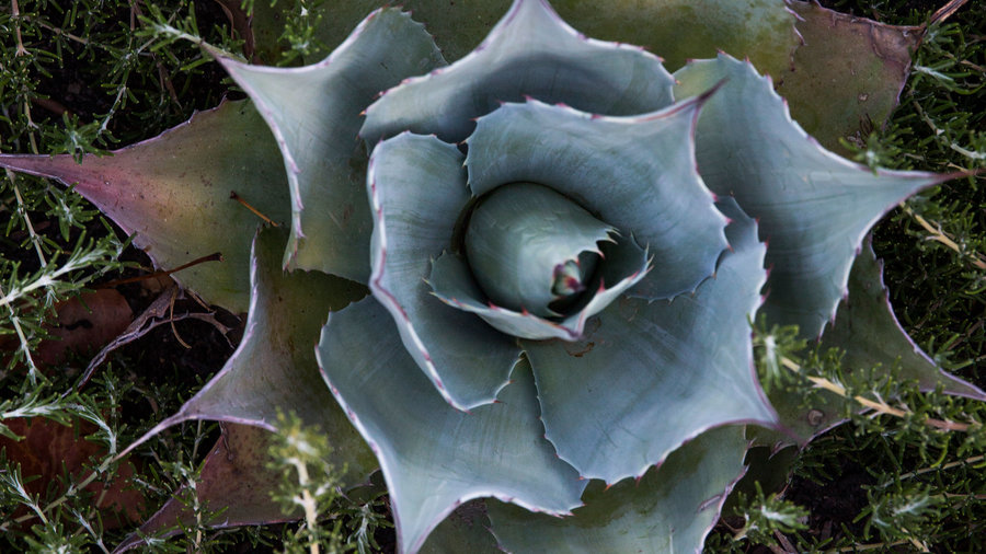 Succulent from above