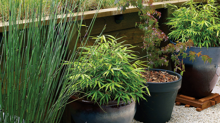Potted bamboo and maples