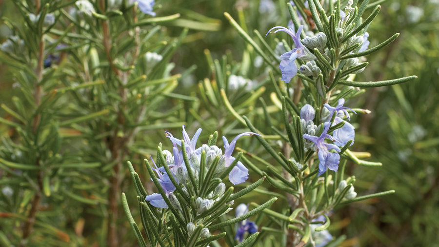 Rosmary 'Tuscan Blue'