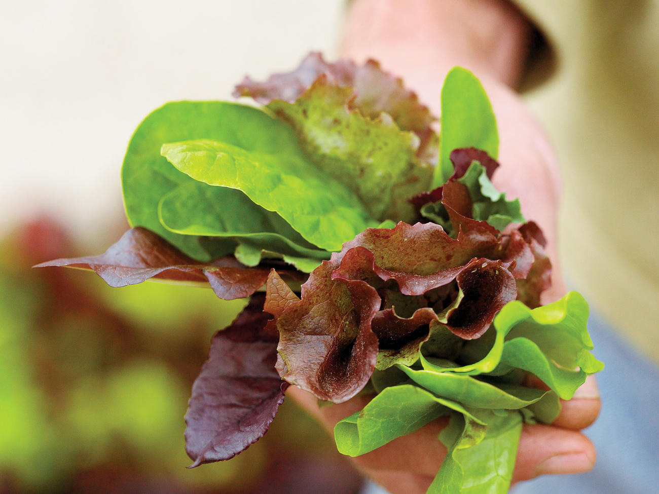 How to Harvest Lettuce