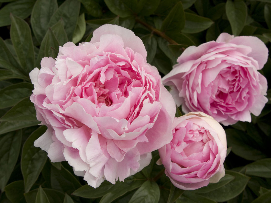 Pink Peonies New Home