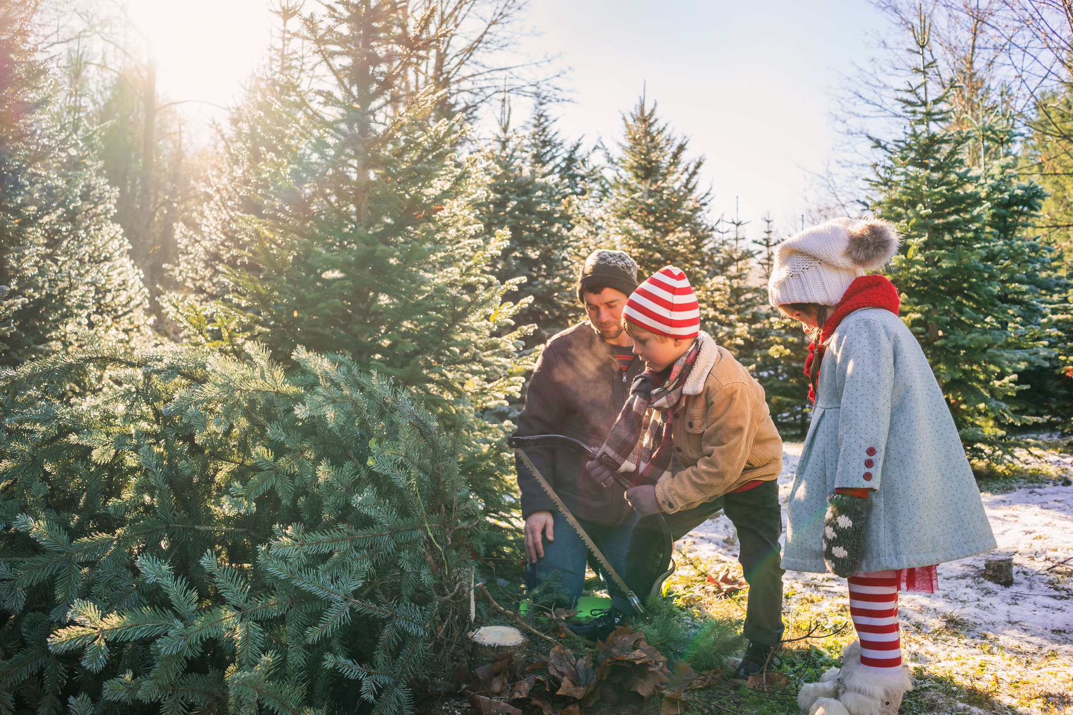 best christmas tree farm spots sunset magazine