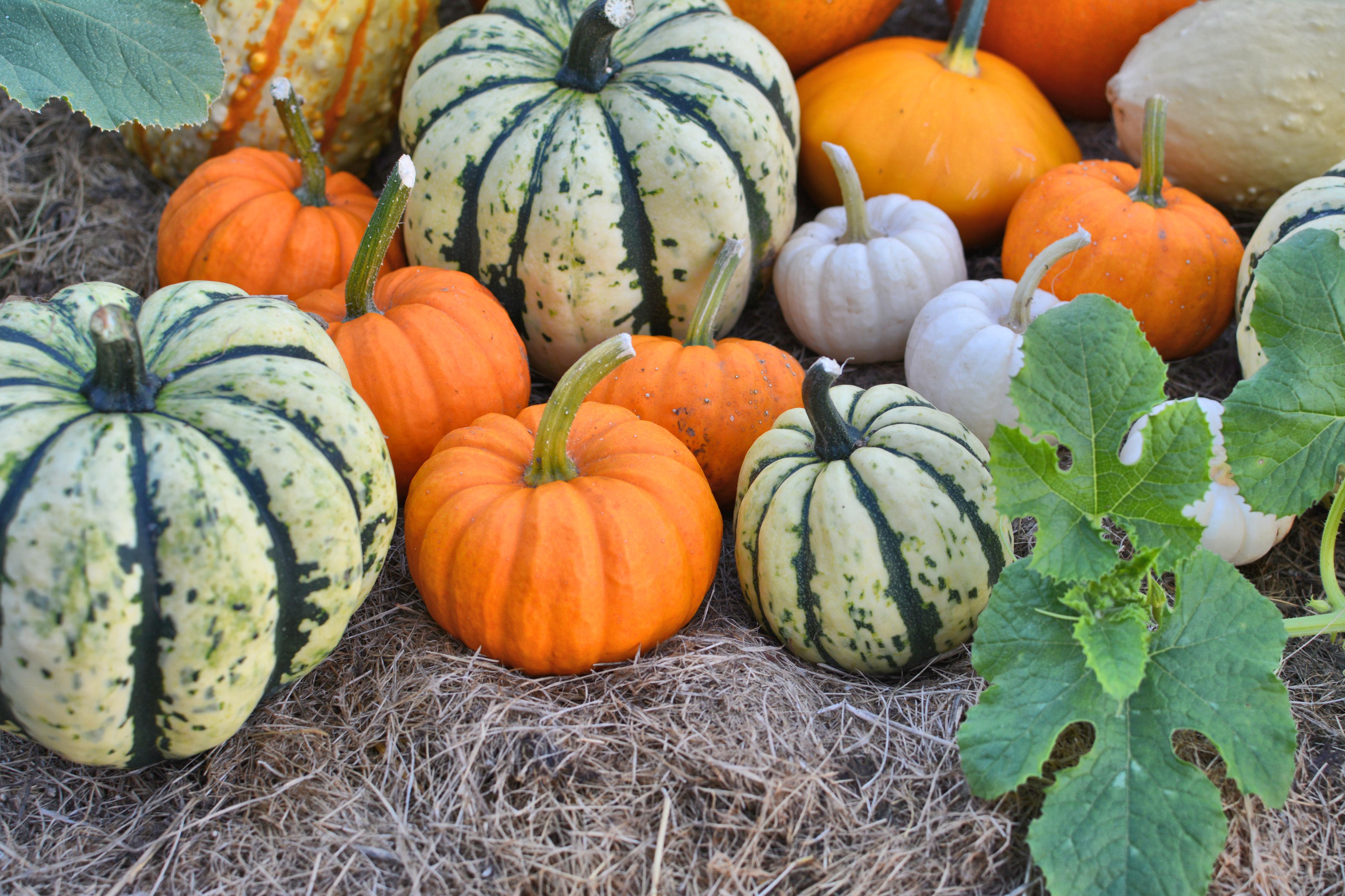 How To Grow Pumpkins Sunset Magazine