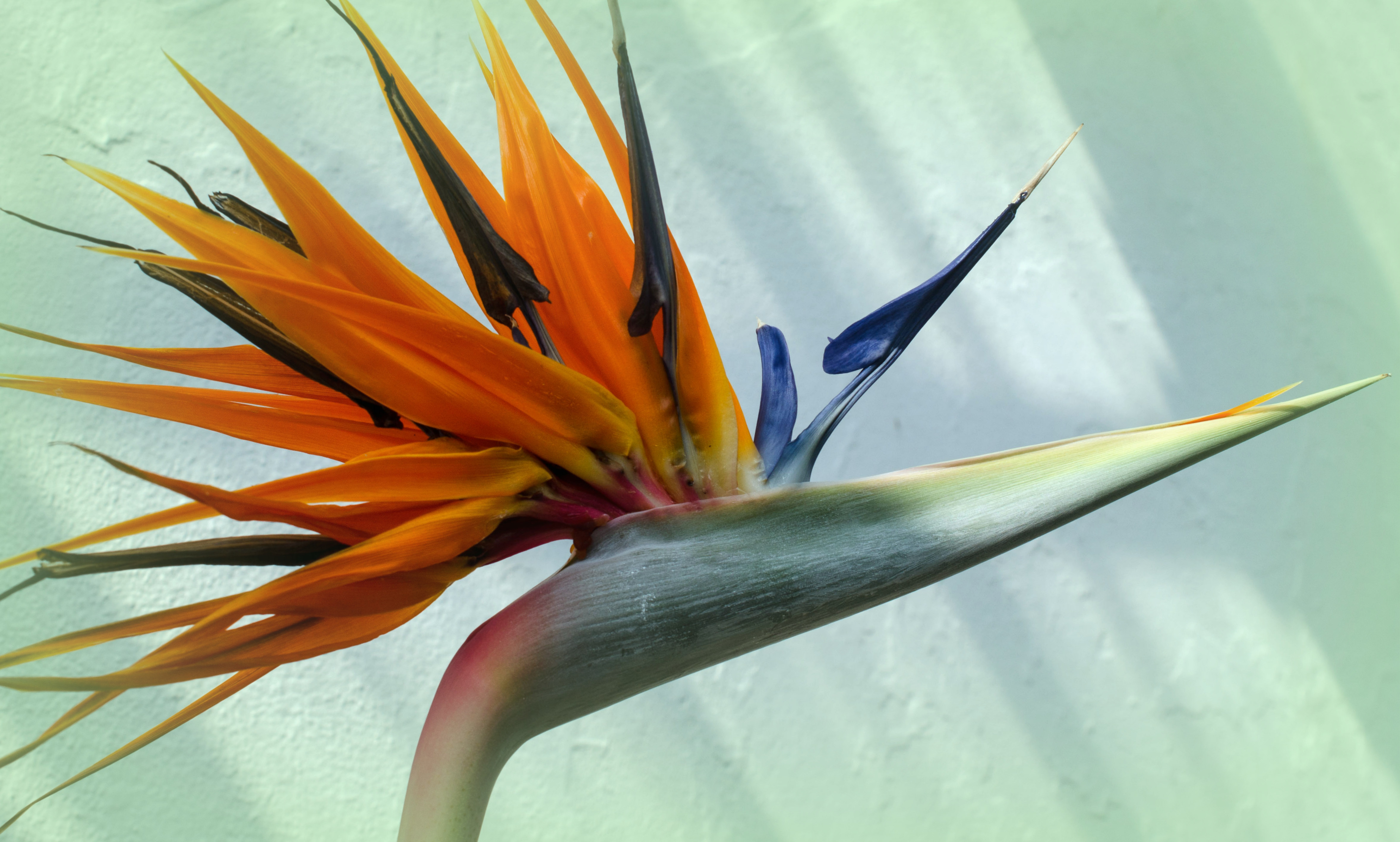 bird of paradise this variety is the quintessential tropical indoor