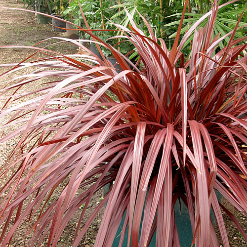'Design-A-Line' Cordyline