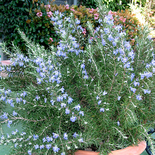 Chef's Choice® Rosemary