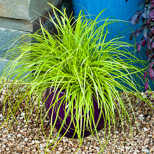 'Everillo' Carex Oshimensis