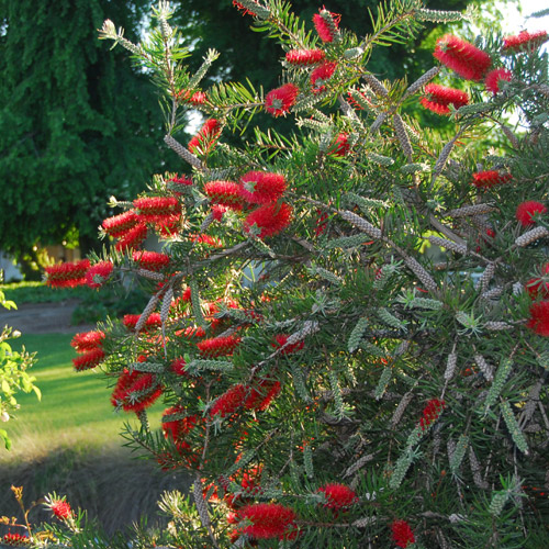 Scarlet Torch™ Bottlebrush