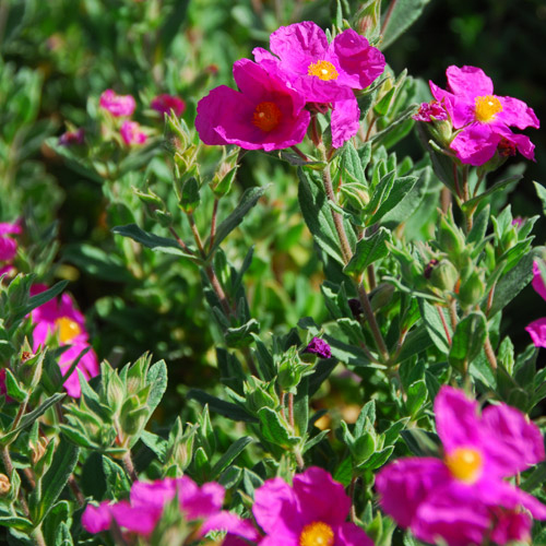 Brillancy Rock Rose