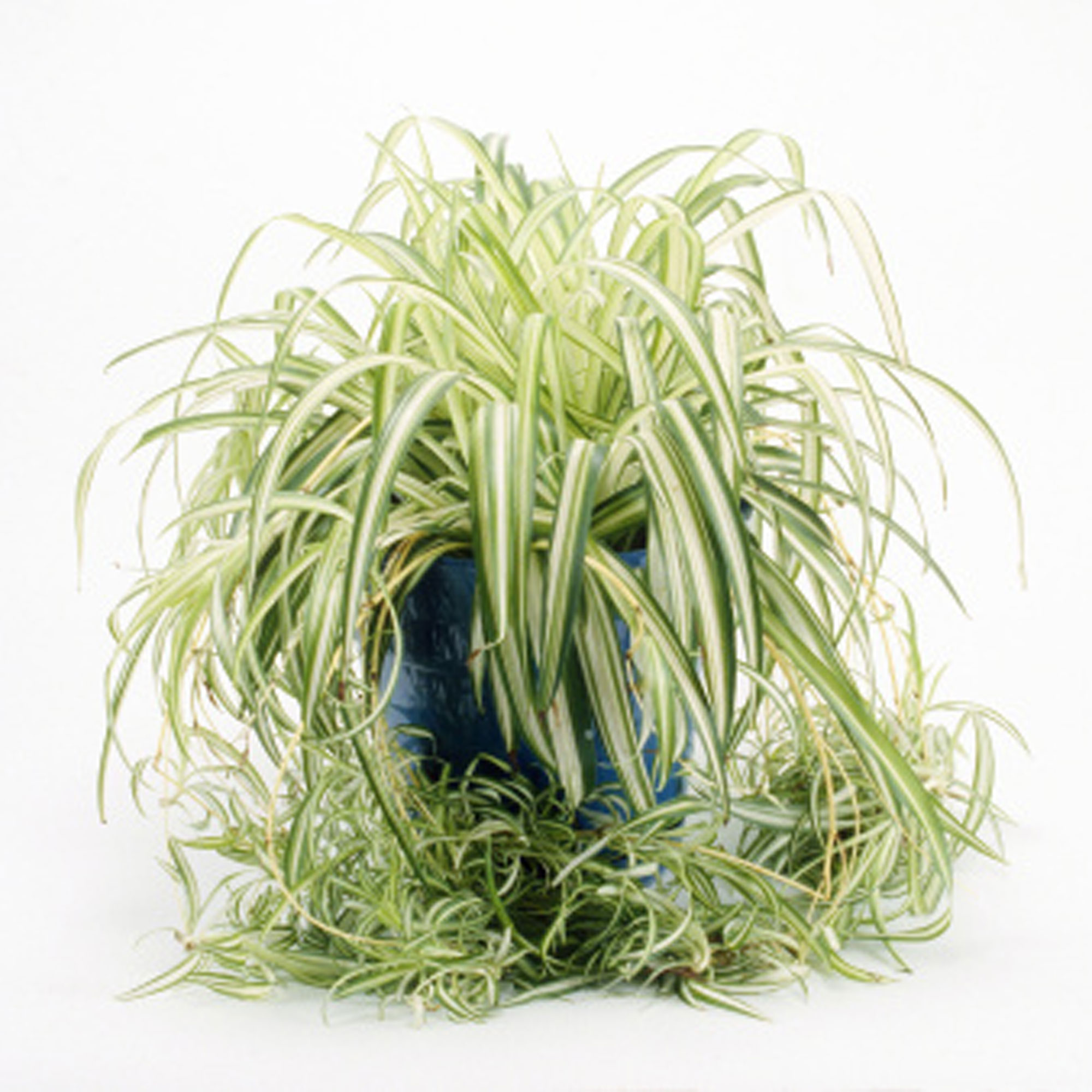 Growing Spider Plants Indoors: 10 Best Houseplants For Low Light