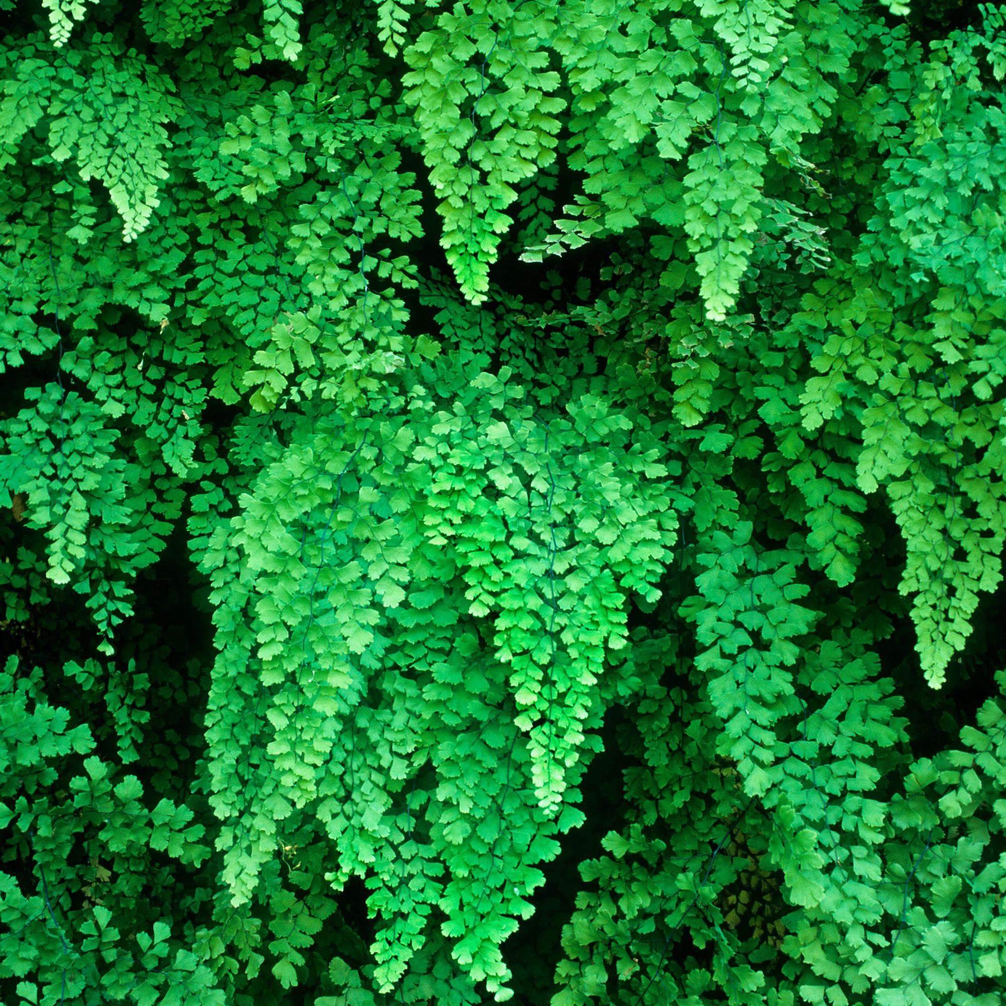 12 Ferns  for Western Gardens Sunset Magazine