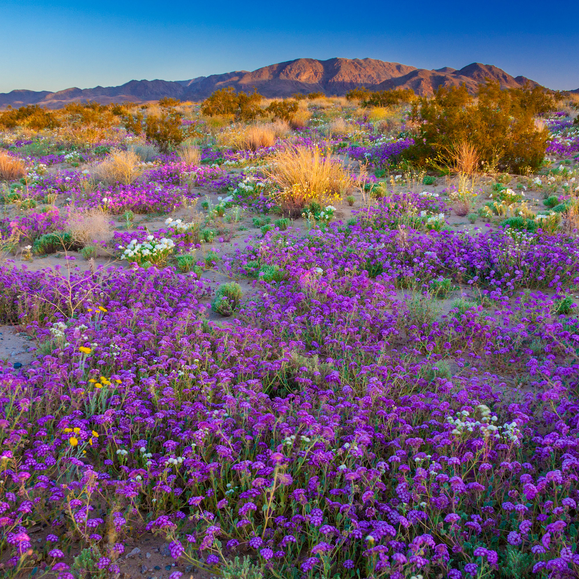 The Ultlimate Wildflower Road Trip in California for Summer