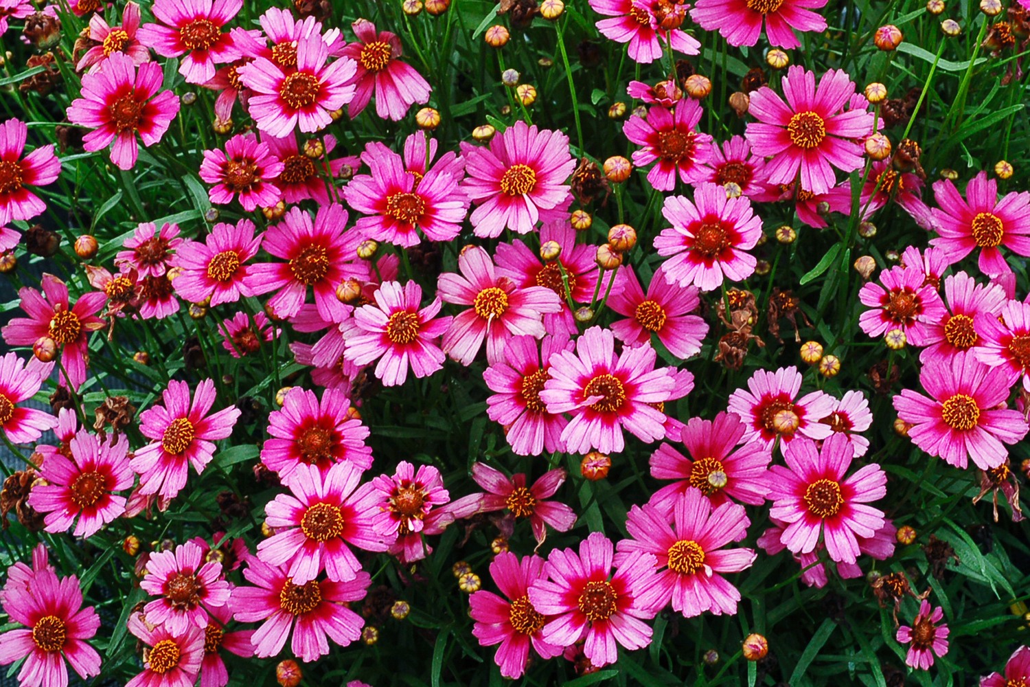 12 gorgeous coreopsis varieties sunset magazine coreopsis garnet mightylinksfo