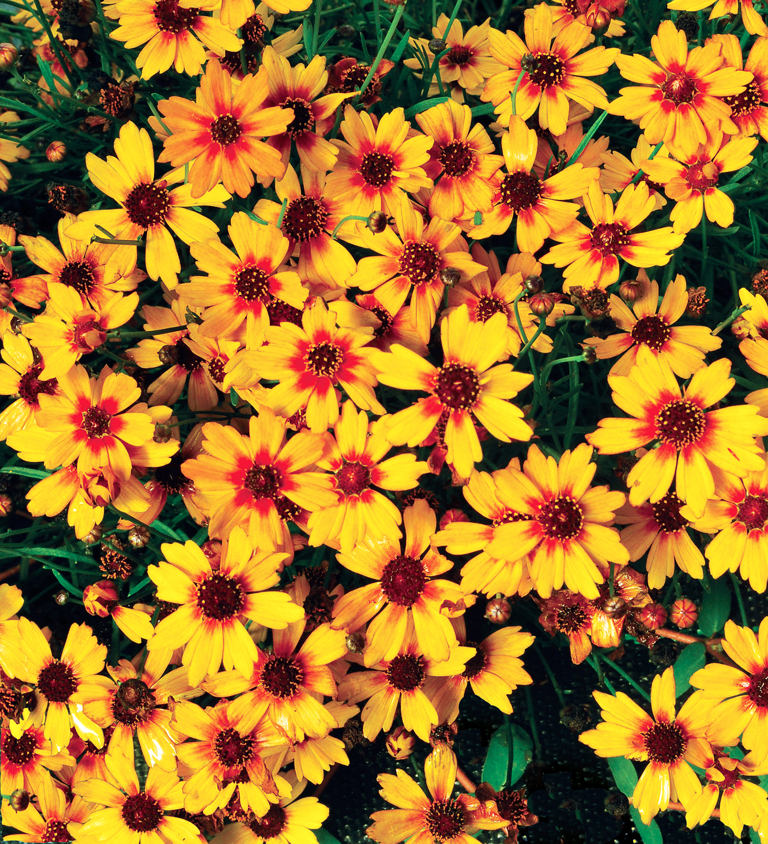 You Ll Fall In Love With These Gorgeous Coreopsis Varieties Sunset Sunset Magazine