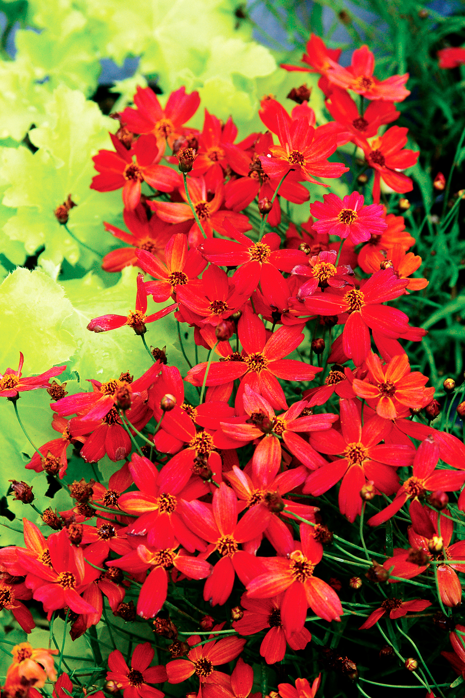Paint Your Garden With Red Flowers Sunset Magazine