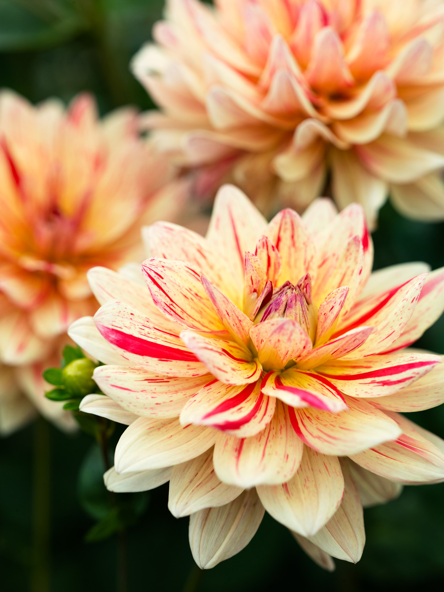 50 gorgeous dahlias sunset magazine izmirmasajfo