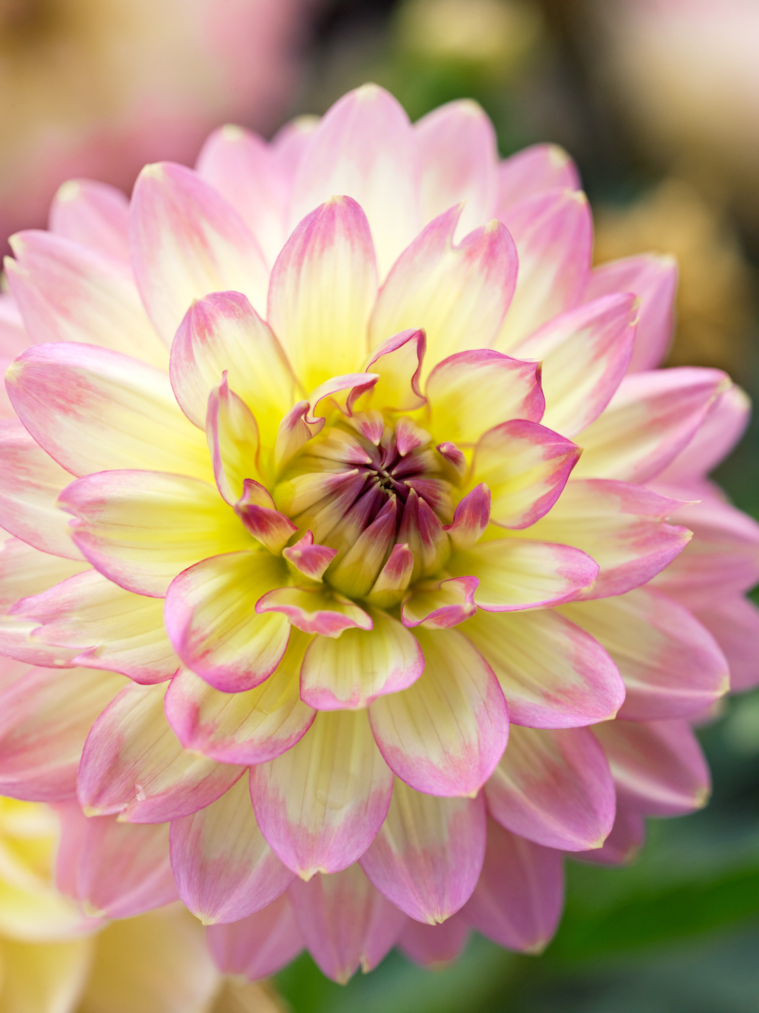 50 dahlias to drool over sunset magazine china doll mightylinksfo Image collections