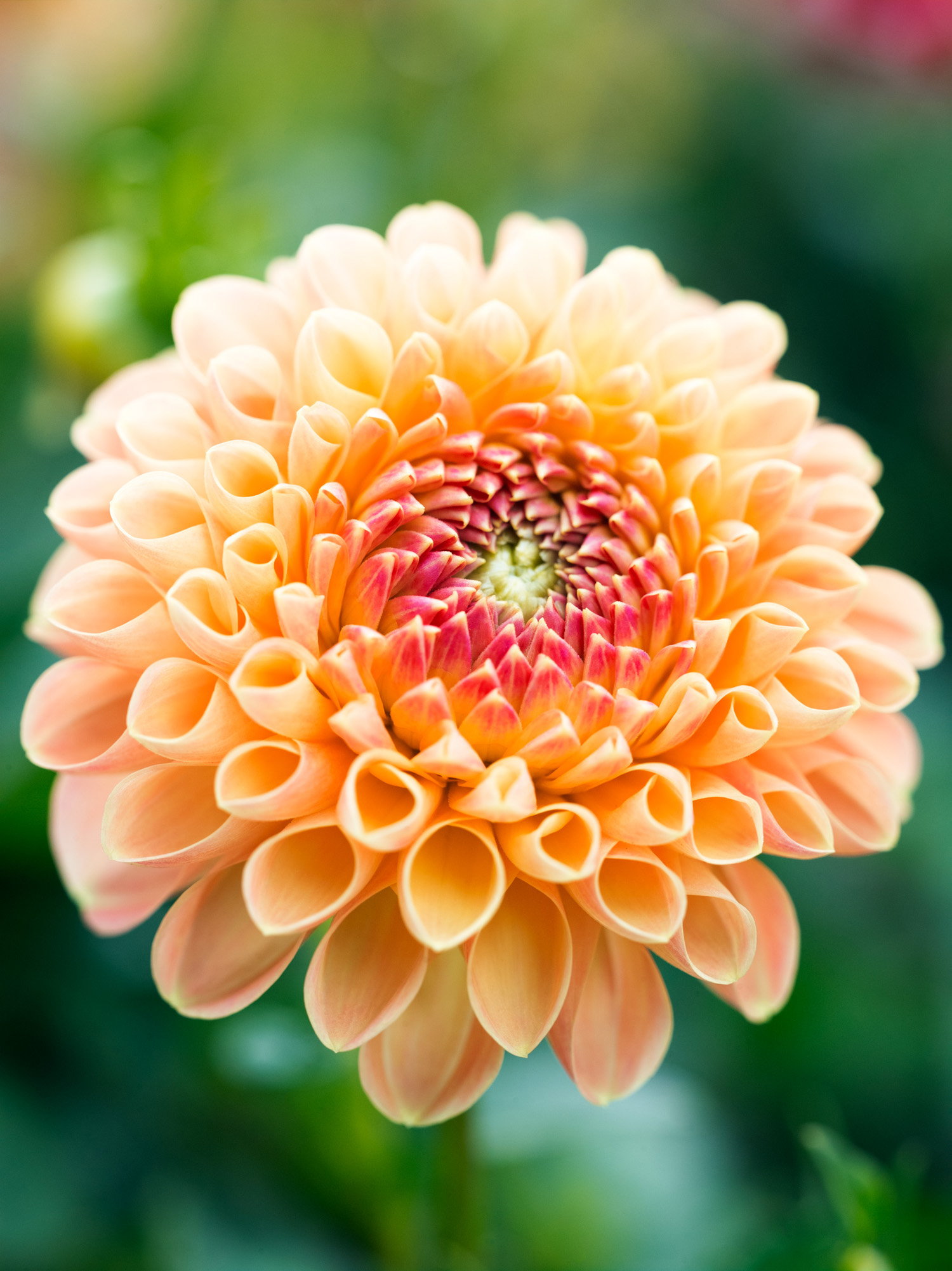 50 gorgeous dahlias sunset sunset magazine crichton honey izmirmasajfo