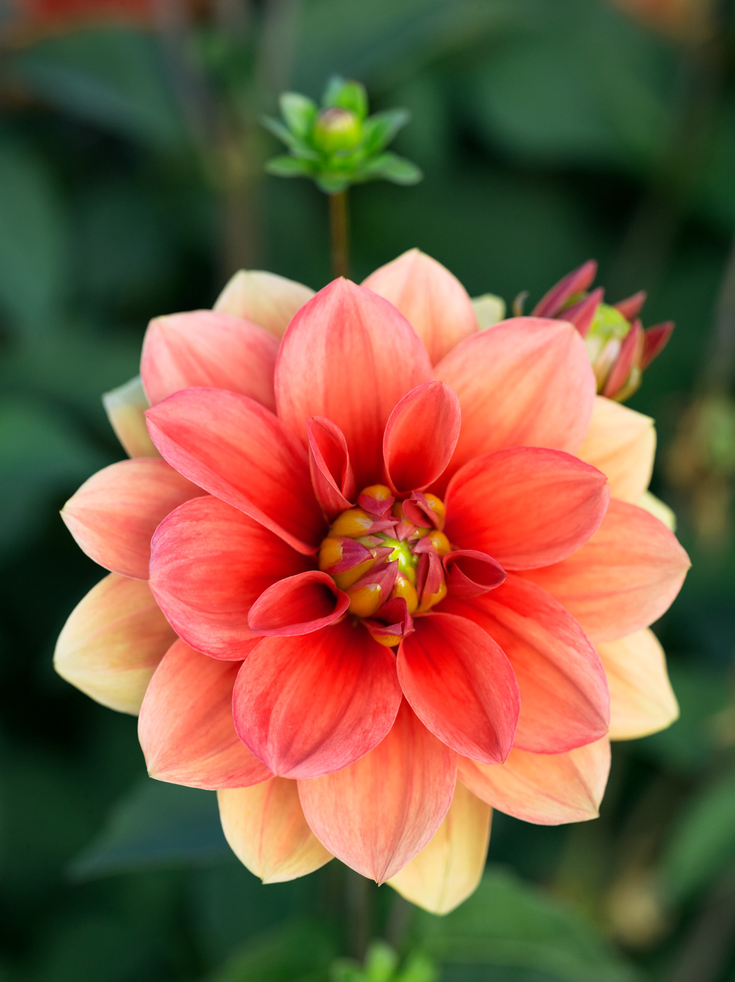 50 dahlias to drool over sunset magazine hot rod mightylinksfo Image collections