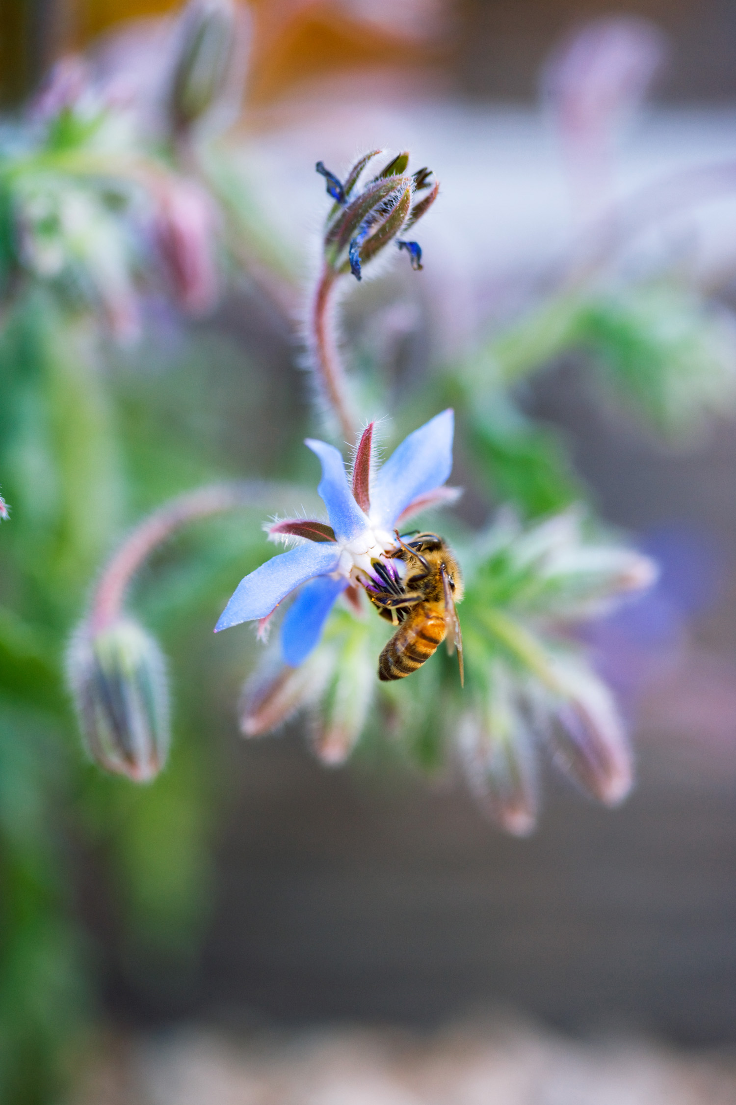21 best plants for pollinators sunset magazine borage borago officinalis izmirmasajfo Choice Image