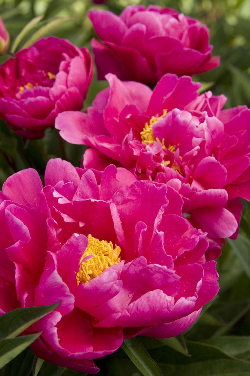 29 gorgeous peonies sunset magazine sunset magazine karl rosenfieldherbaceous peony nvjuhfo Gallery