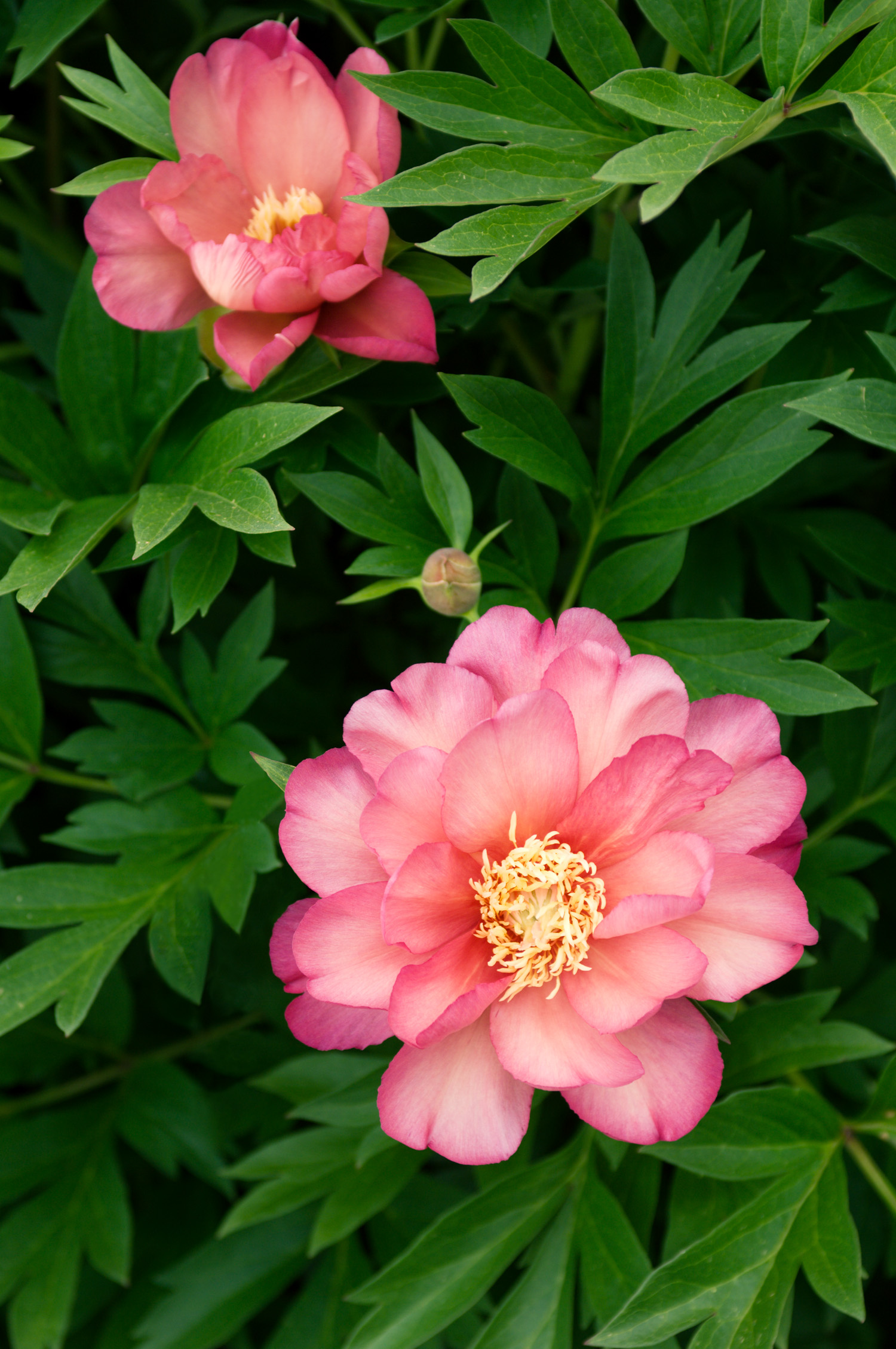 29 Beautiful Peonies Sunset Magazine