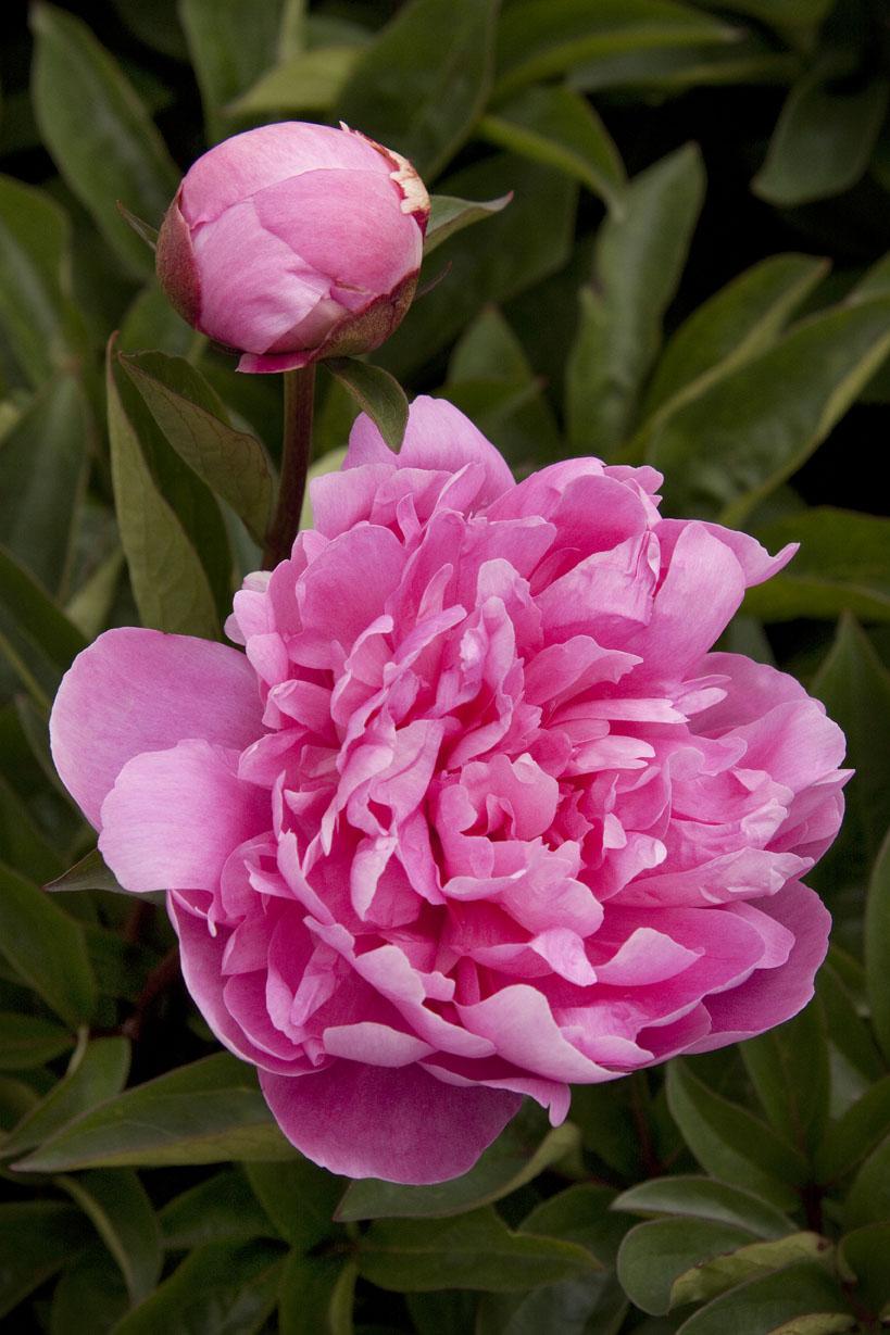 29 gorgeous peonies sunset magazine sunset magazine pink parfaitherbaceous peony nvjuhfo Gallery