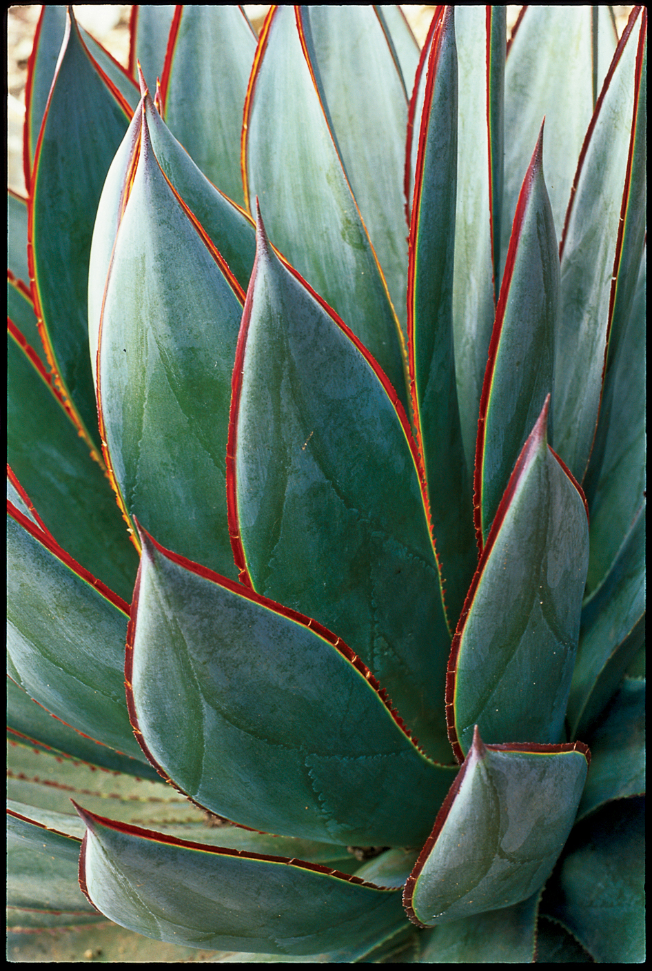 16 Gorgeous Agave Plants
