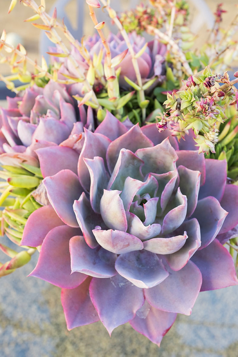 Top 12 Succulents for Home Gardens