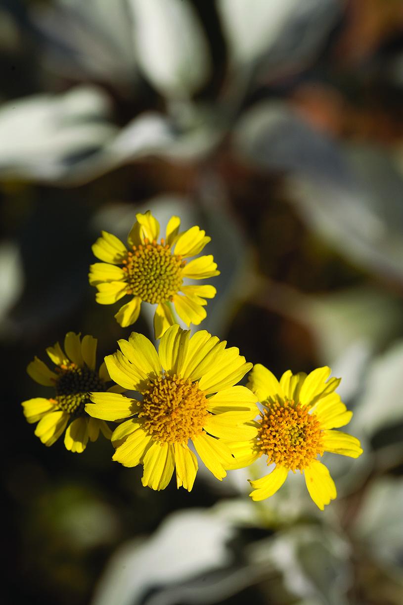 Paint your garden with yellow flowers sunset sunset magazine brittlebush izmirmasajfo