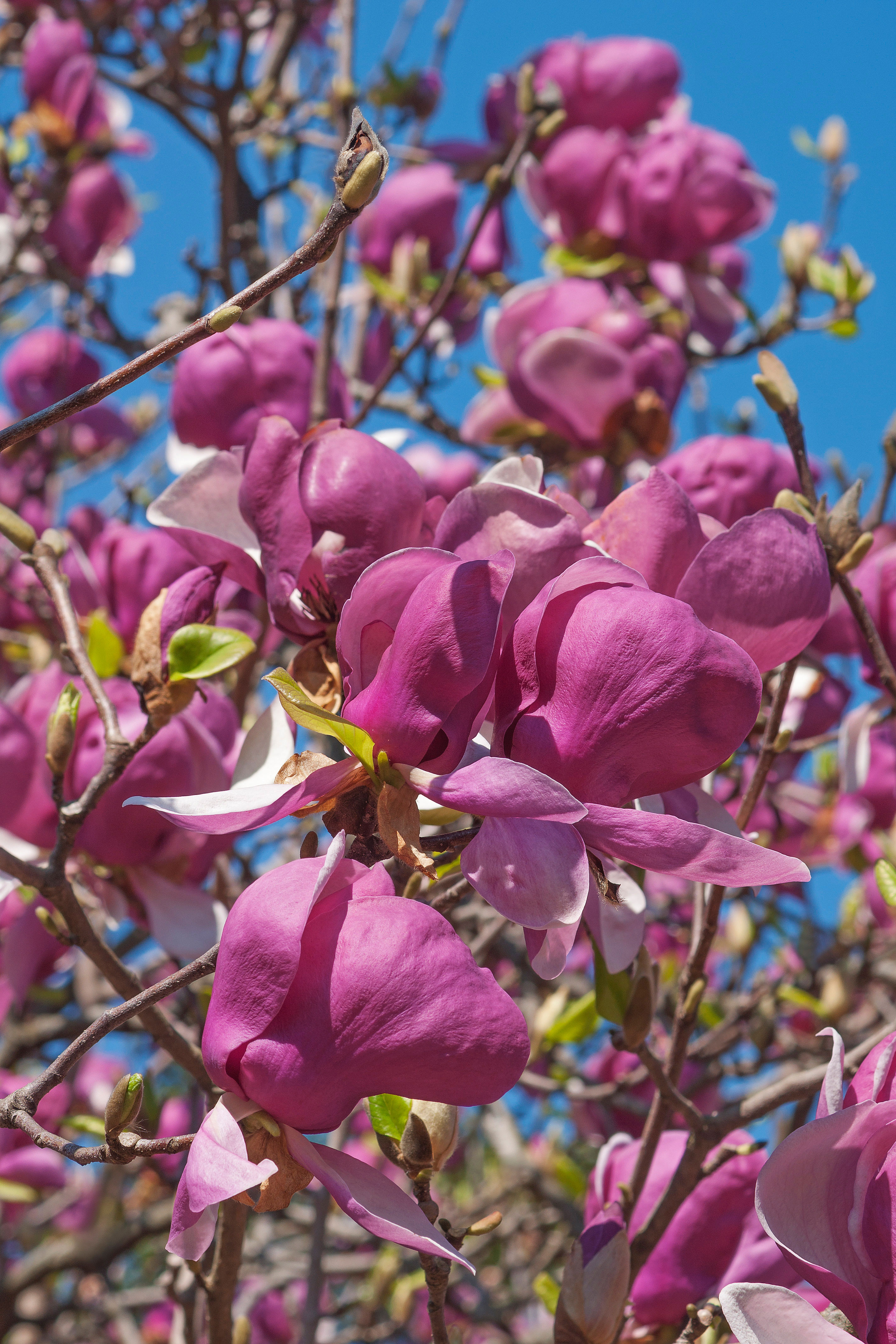 Top 10 trees for small spaces sunset magazine saucer magnolia mightylinksfo