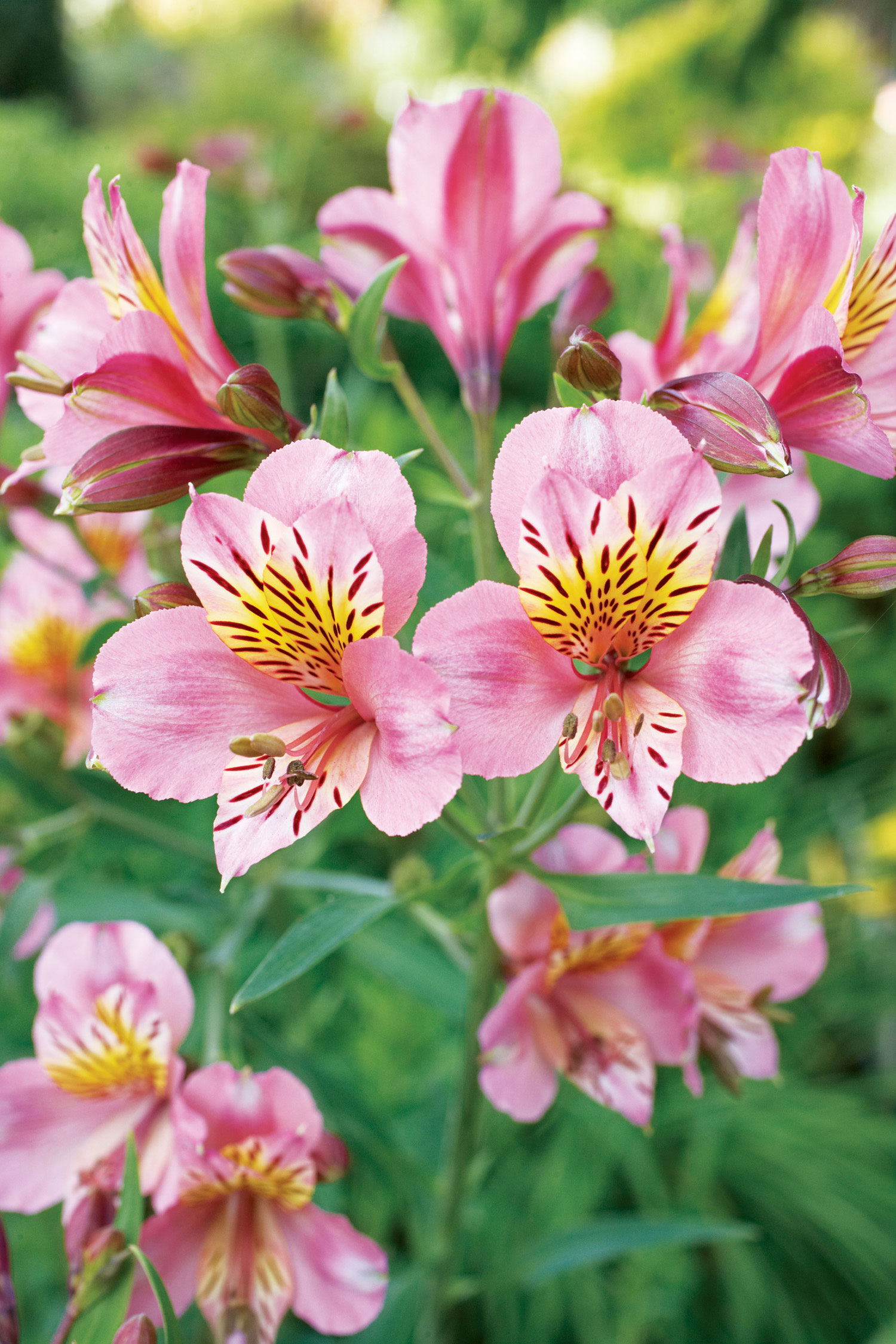 20 best perennial flowers sunset magazine izmirmasajfo