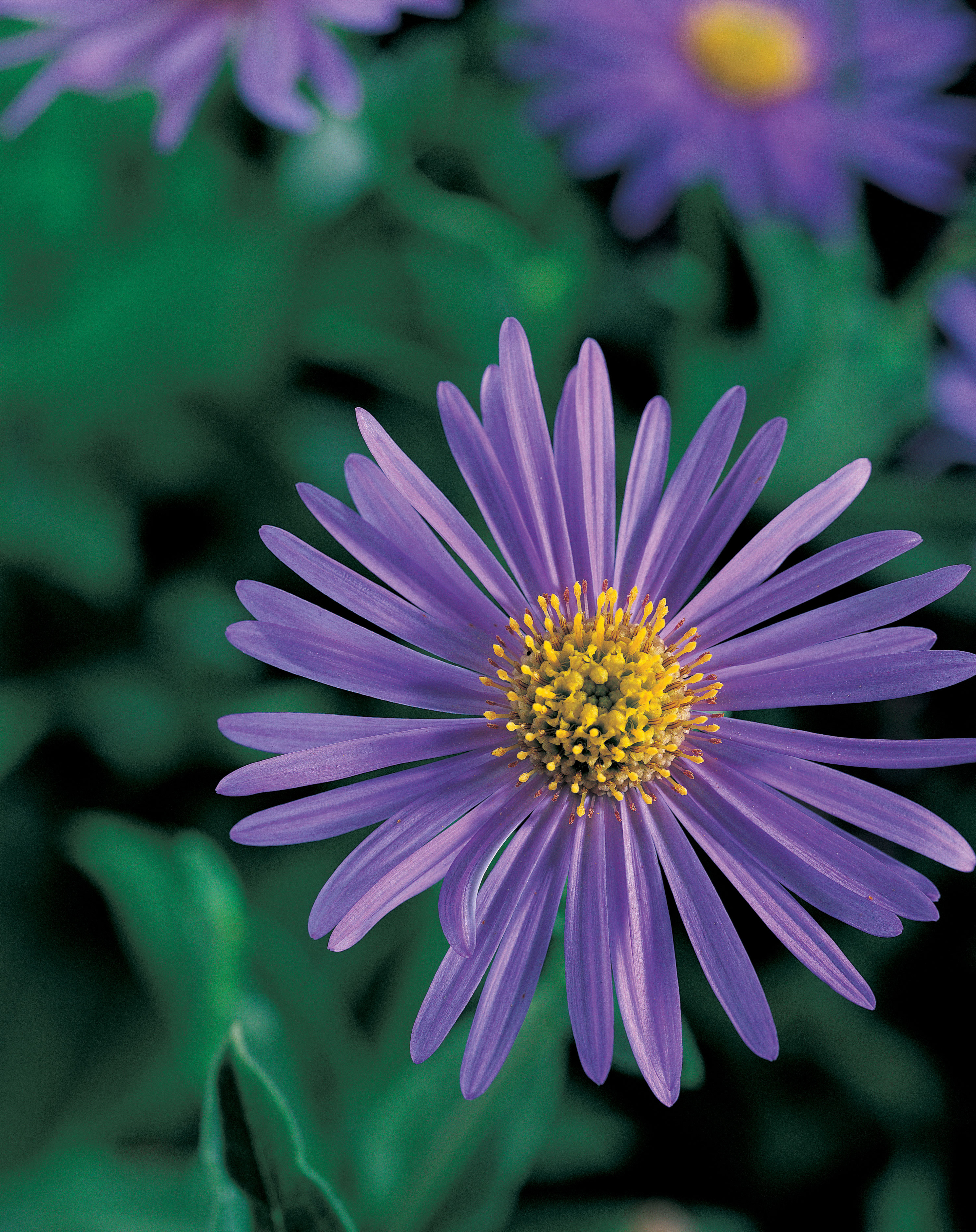 10 easy growing asters sunset magazine mnch aster mightylinksfo