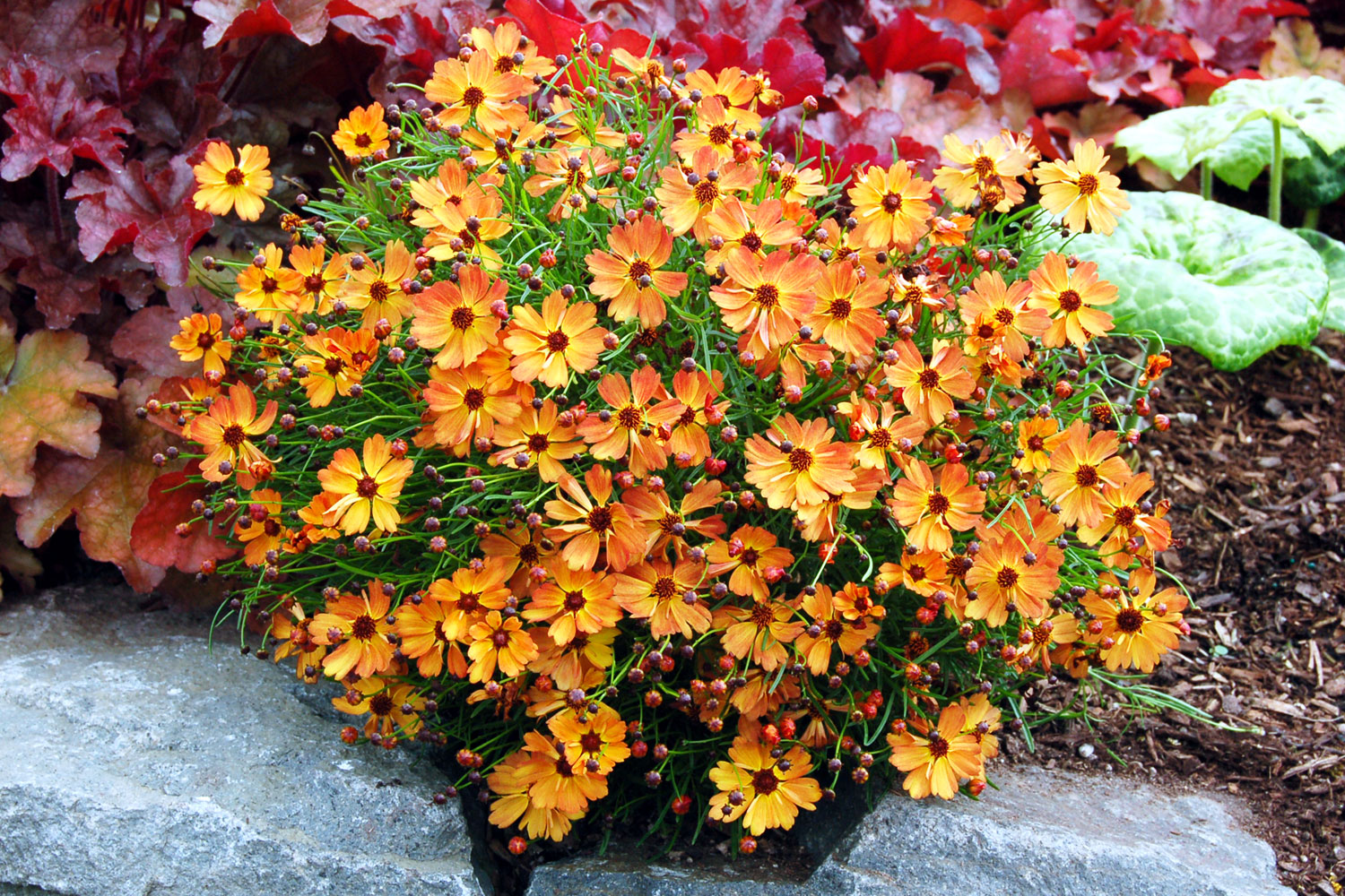 15 favorite perennial flowers sunset magazine coreopsis mango punch mightylinksfo Choice Image
