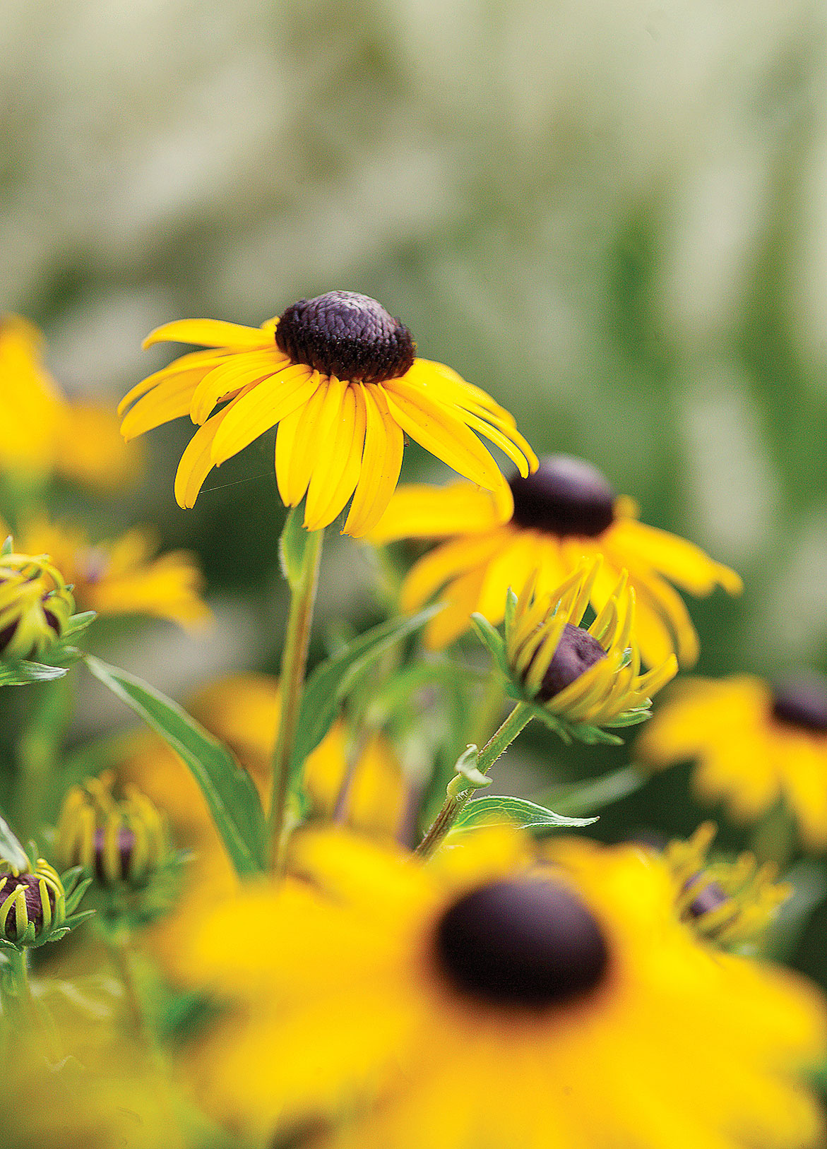 16 flowers to paint your garden yellow sunset magazine gloriosa daisy mightylinksfo