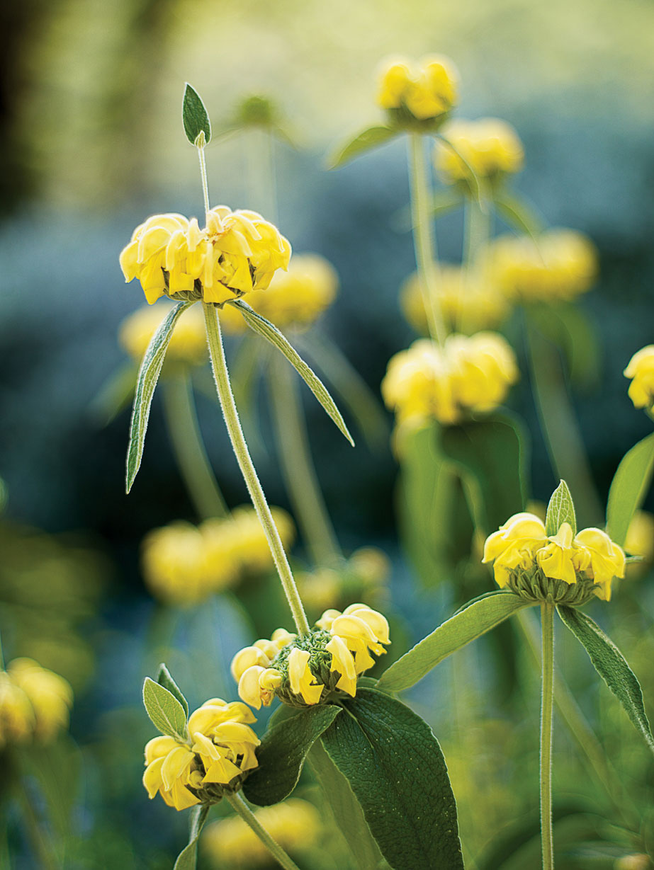 16 flowers to paint your garden yellow sunset magazine jerusalem sage mightylinksfo Choice Image