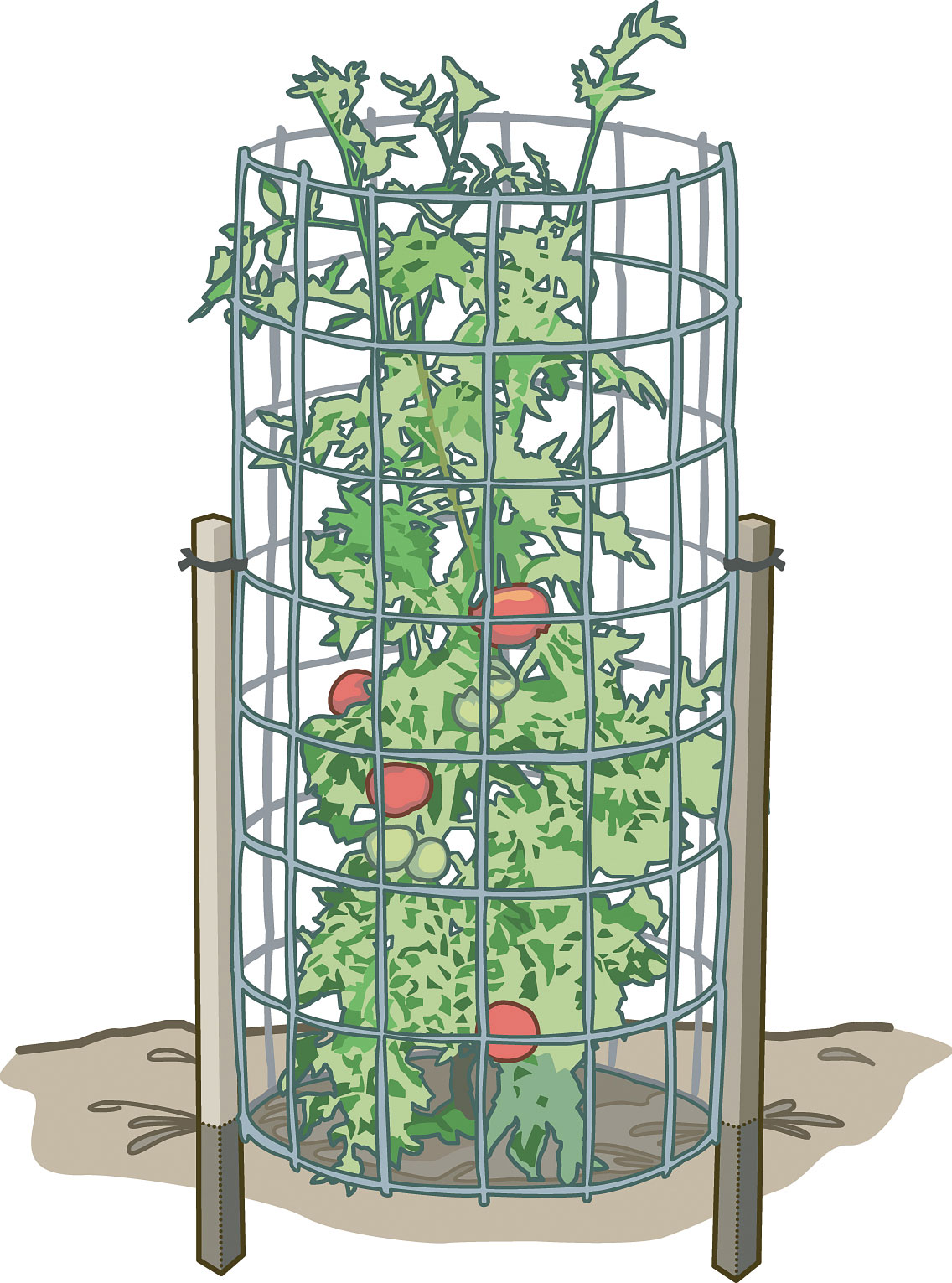 How to Train Tomatoes