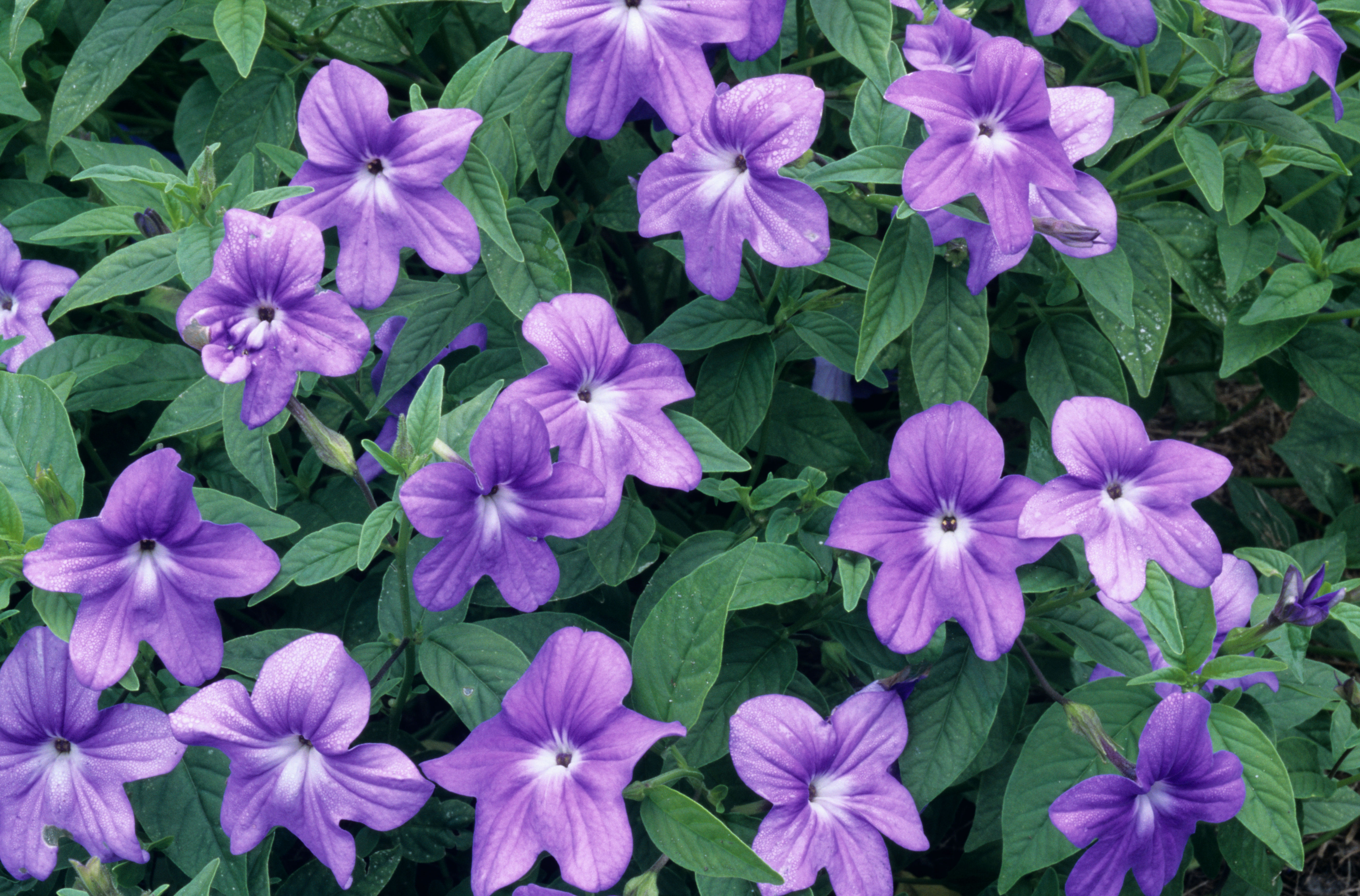Plant some of these beauties for great garden color even in shade amethyst flower browallia hybrids izmirmasajfo