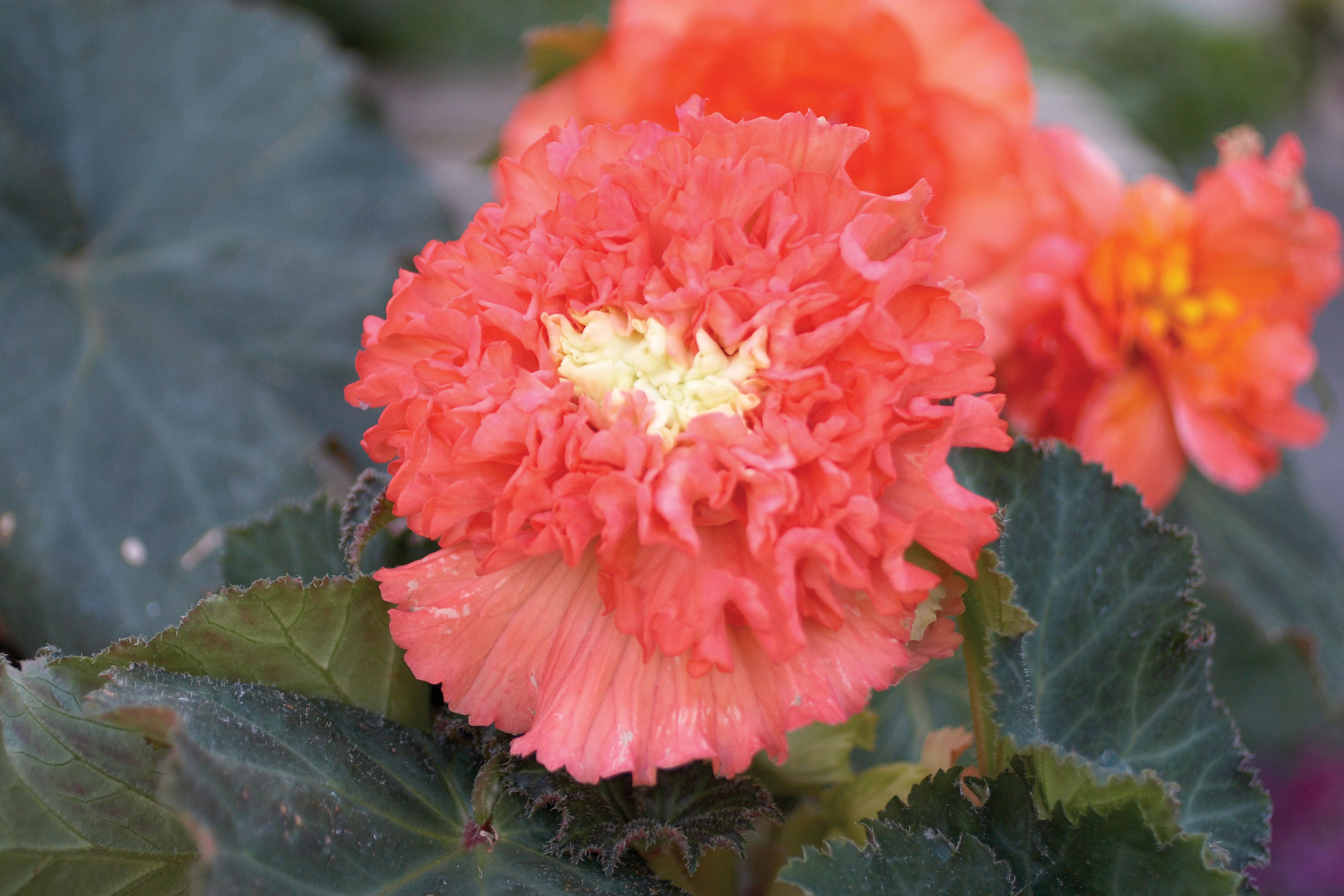 Plant some of these beauties for great garden color even in shade begonia tuberous mightylinksfo