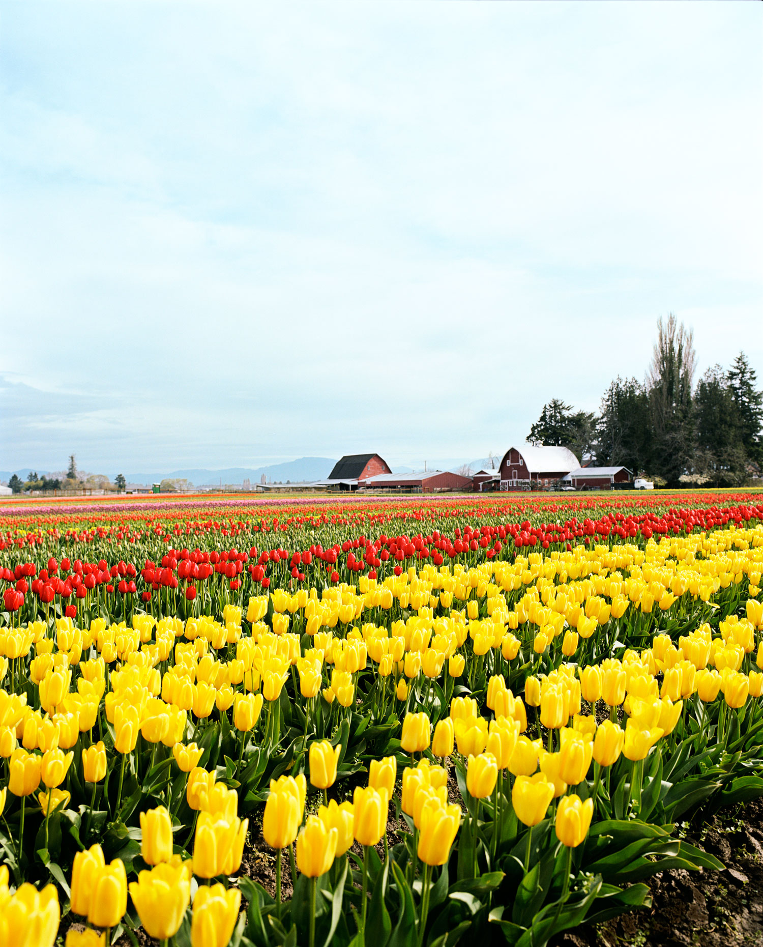 Take in Tulip Season in Skagit Valley, WA